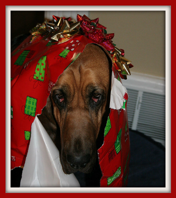 Bloodhound dog draped in wrapping paper